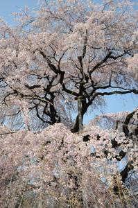慈雲寺枝垂れ桜